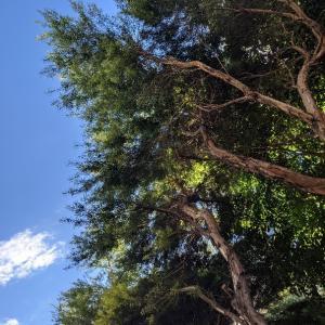 ティートゥリーの木に守られて