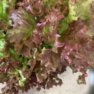 家庭菜園の朝どり野菜 サニーレタス