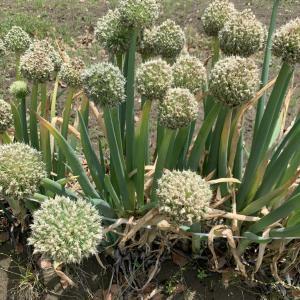 ねぎぼうずはネギの花