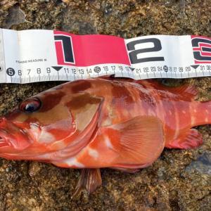 【実釣インプレ】アカハタ釣りおすすめワーム エコギア バグアンツ【ロックフィッシュ 】