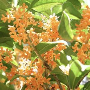 香りから感じる秋の予感「金木犀」