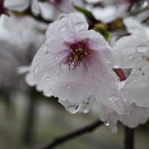 思った以上に暗かった雨天の桜、それでもちゃんと綺麗に撮れたよ