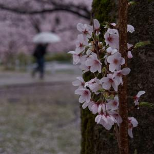 SMC-PENTAX35-80㎜、オールドレンズで撮る光の少ない雨桜
