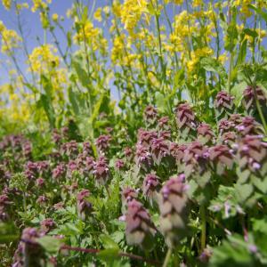 幸せの黄色い花畑、福島潟の花満開の菜の花とヒメオドリコソウ