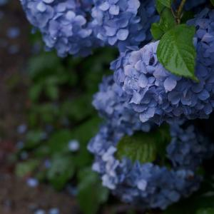 Mt.GOMADOU  Inconspicuous mountain of hydrangea