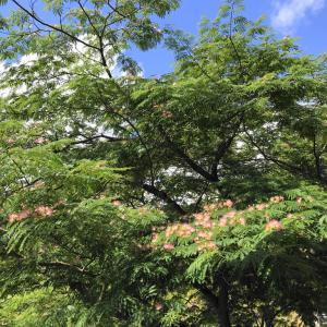 🦊合歓の木と甲子園
