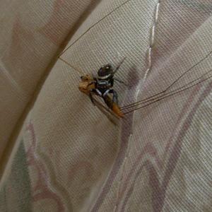 ハエトリグモの獲物はハエだけではない