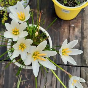 ゼフィランサスとミセバヤの花が咲いたとです