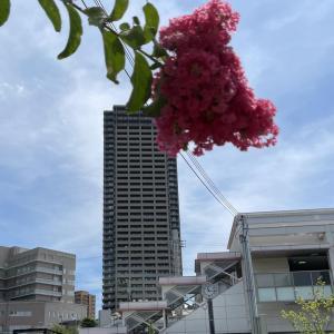 香里園駅西口に咲くサルスベリ 【寝屋フォト】