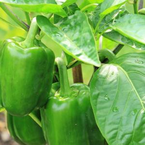 ピーマンの特徴と育て方とは #野菜の栽培方法