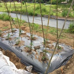 トマト・ミニトマトの育て方とは?畑に苗を植えて栽培する
