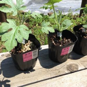 スイカを栽培する!苗を植えて育てる方法