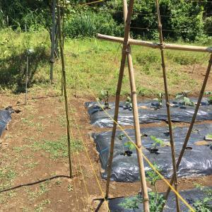 【防鳥糸の使い方】畑の野菜を鳥から守る