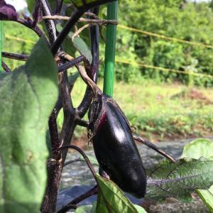 ナスの整枝と摘果の方法は?これで収穫量が変わります