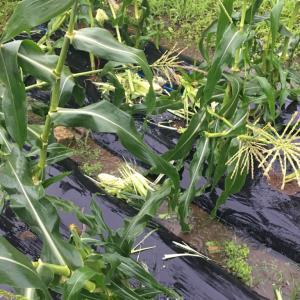 トウモロコシがハクビシンの被害にあった衝撃の現場はこれだ!
