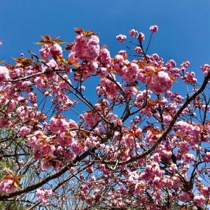 八重桜 青空とのコントラスト これはキレイ