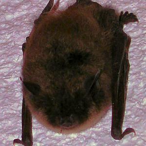 #122 蝙蝠(コウモリ)