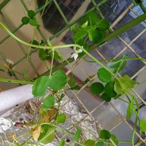 エンドウ系お豆さんのお花が咲き始めました。