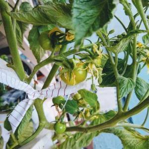 トマトさんたち 季節外れの着果? と 新たに撒いた種