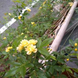 今年もアントン君のモッコウバラが咲きました。