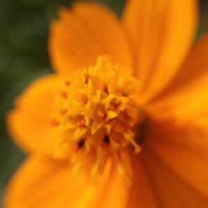 花の中に花咲く~コスモス
