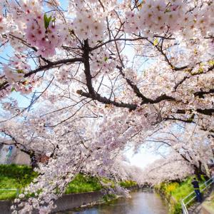 岩倉五条川のさくら 愛知が誇る桜風景!!どこまでも続く川沿いのさくら