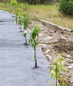 全国の子供達へ、桃の苗木、さくらんぼの苗木をプレゼントしました。