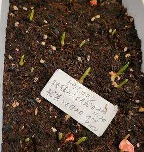 トウモロコシの旅立ち、大きく成長しました!