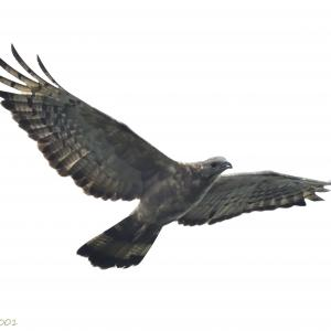 2021.9.16 鷹の渡り 4日目