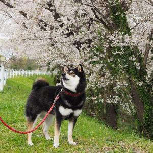 桜を楽しむお散歩をしたよ