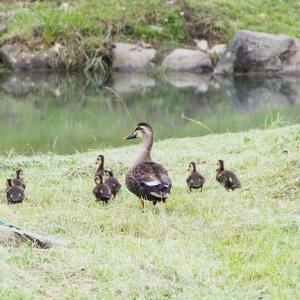 宮ヶ瀬湖畔園地ではカルガモが子育て中だったよ!