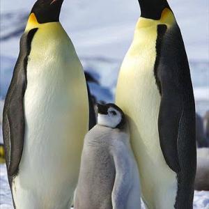 世界で最も過酷な子育て!?コウテイペンギン(エンペラーペンギン)の生態とは?