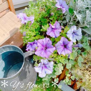 花壇のラベンダー生けました♡秋からおりましたアリッサムにお別れを告げて...
