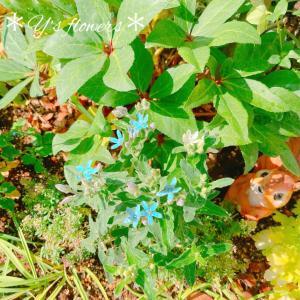 切り花にも良く使われます貴重なオキシペタラムちゃんの現在、、(つД`)ノ本日のお花ちゃん*..