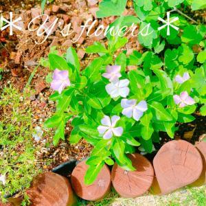 花っ家ない中で日々草が綺麗に咲いています...*本日の花壇...*