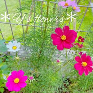 地植えコスモスが綺麗でお庭に出るのが楽しいです...*小心者の芝刈り方法...
