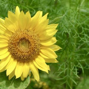 向日葵を見にいく(1)