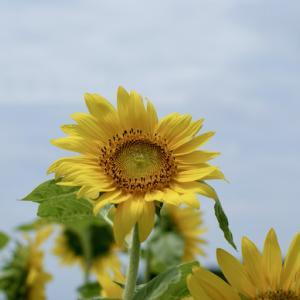 向日葵を見にいく(2)