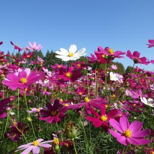生駒高原に満開の秋桜を見に行く