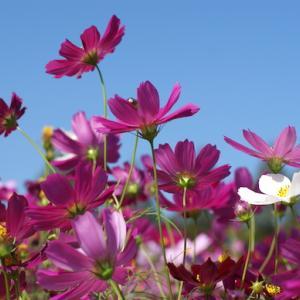 ついつい見ちゃう / 生駒高原に満開の秋桜を見に行く(その2)