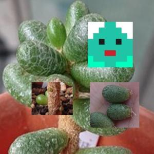 緑亀の卵の葉挿しから発根&元株から粒々新芽続々(多肉植物の成長記録)