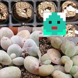 星美人と三日月美人の育成開始(寄せ植えの植え替え・パキフィツム属多肉植物栽培記録)