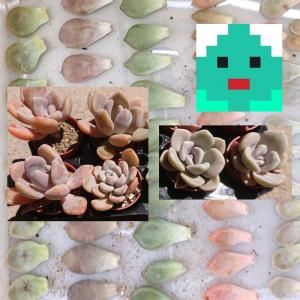【後編】七色肉厚多肉達の葉挿し開始(多肉植物の繁殖記録)
