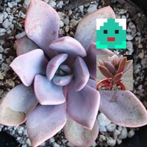 ブロンズ姫とデビ―の植え替え&一カ月後の変化(七色肉厚多肉その後3・多肉植物栽培記録)