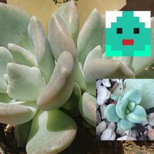 アズールブルー(エケベリア)葉挿し開始から発芽まで&2カ月間の成長(多肉植物繁殖記録)