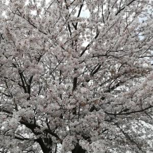 ちょい花見②(和光市越戸川の桜並木)
