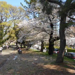 ちょい花見(外堀沿い)