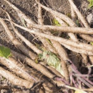 ごぼうとほうれん草の種まき