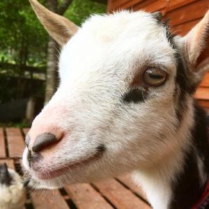 【ヤギの販売】ネイティブトカラヤギのポンちゃん(メス)生後3ヶ月です