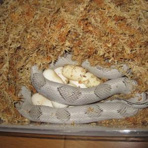 ペコスの産卵(6)。